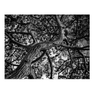 Canadian Pine Tree Fine Art Photography Post Card