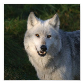 Canadian Timber Wolf Canadian Timber Wolf Photograph