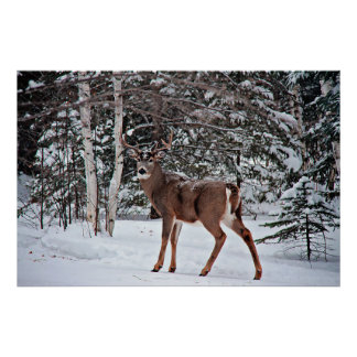 Canadian Whitetail Buck Poster