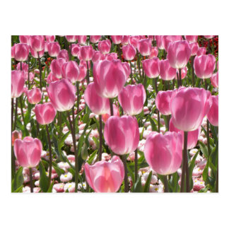 Canberra Tulips Postcard