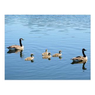 Canda Goose, Gander, and Goslings Postcard