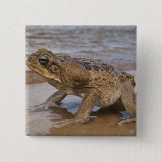 Cane Toad Rhinella marina, previously Bufo 15 Cm Square Badge