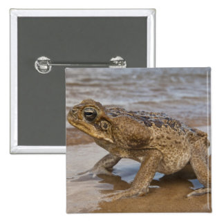 Cane Toad Rhinella marina, previously Bufo 15 Cm Square Badge