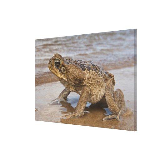 Cane Toad Rhinella marina, previously Bufo Canvas Prints