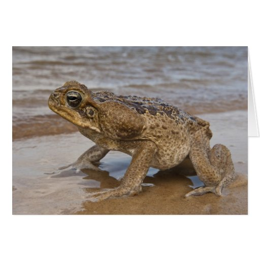 Cane Toad Rhinella marina, previously Bufo Greeting Card