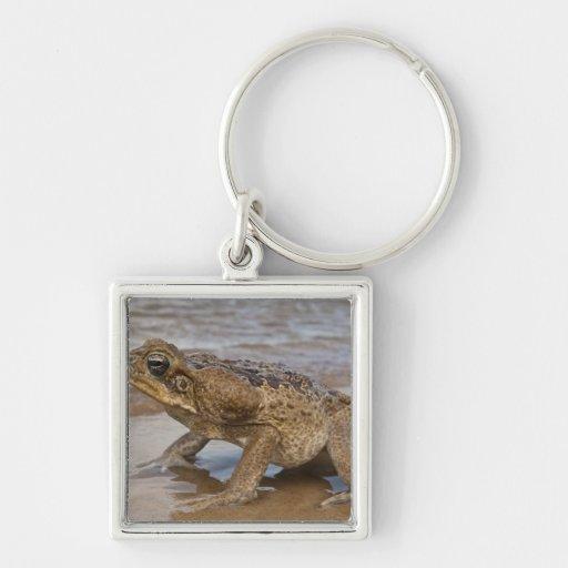 Cane Toad Rhinella marina, previously Bufo Key Chains