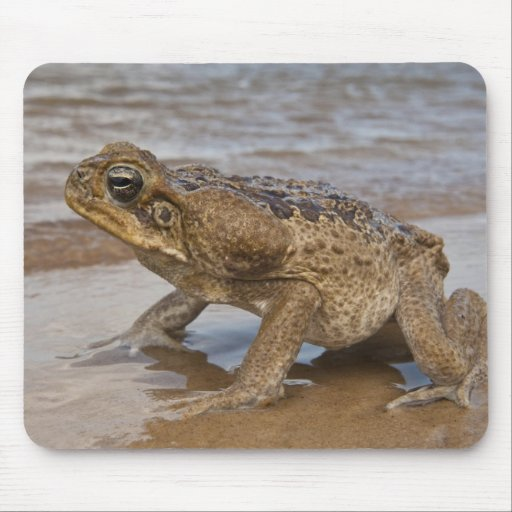 Cane Toad Rhinella marina, previously Bufo Mouse Pads