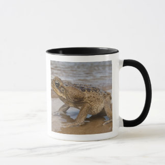 Cane Toad Rhinella marina, previously Bufo Mug