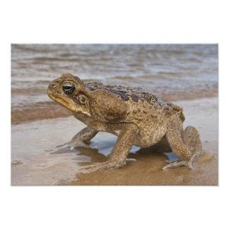 Cane Toad Rhinella marina, previously Bufo Photo
