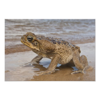 Cane Toad Rhinella marina, previously Bufo Photo Print