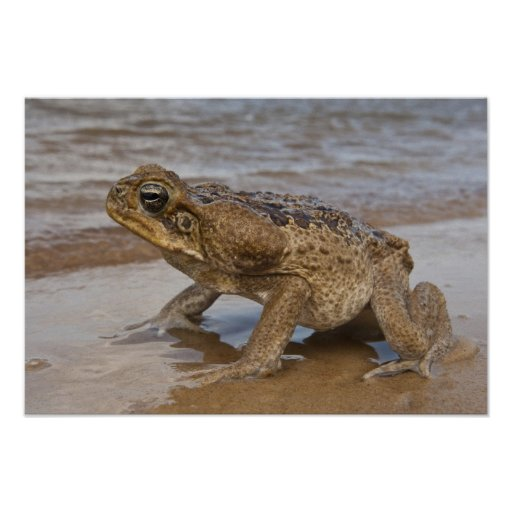 Cane Toad Rhinella marina, previously Bufo Posters