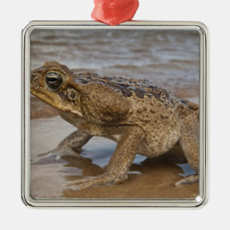 Cane Toad Rhinella marina, previously Bufo Silver-Colored Square Decoration