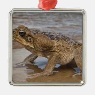 Cane Toad Rhinella marina, previously Bufo Silver-Colored Square Decoration