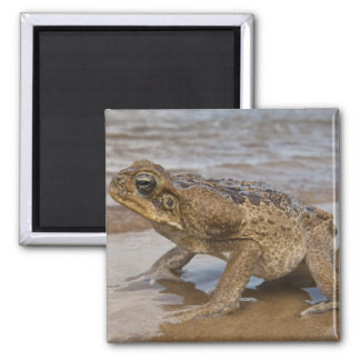 Cane Toad Rhinella marina, previously Bufo Square Magnet