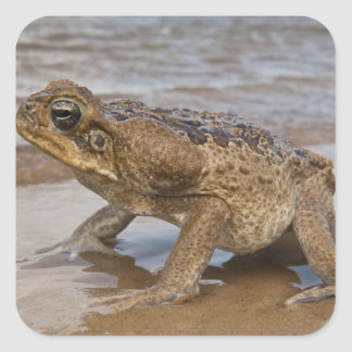 Cane Toad Rhinella marina, previously Bufo Square Sticker