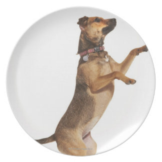 Canis familiaris 2 plate