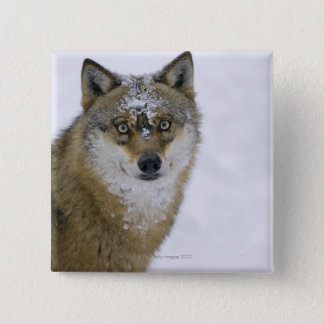 Canis lupus, Looking at Camera, Germany, Europa 15 Cm Square Badge