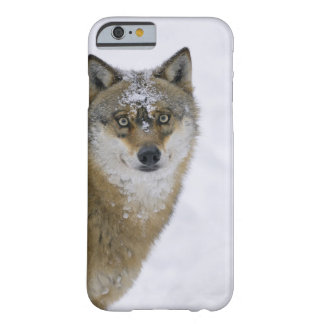 Canis lupus, Looking at Camera, Germany, Europa Barely There iPhone 6 Case