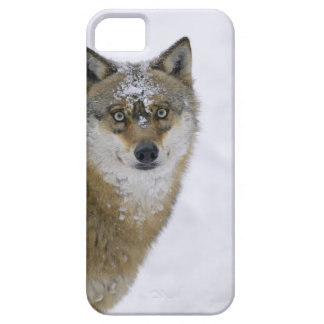 Canis lupus, Looking at Camera, Germany, Europa iPhone 5 Cover