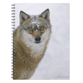 Canis lupus, Looking at Camera, Germany, Europa Notebooks