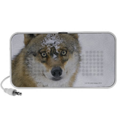 Canis lupus, Looking at Camera, Germany, Europa iPhone Speakers