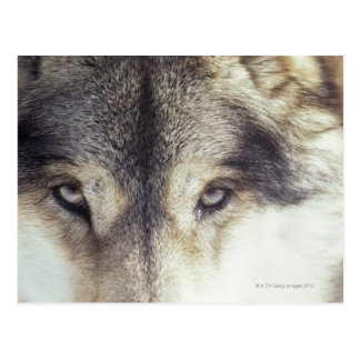 Canis Lupus Post Card