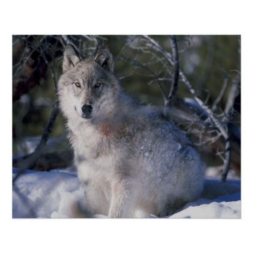 Canis_lupus_wolf wolves in wild posters