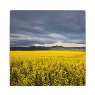 Canola field in morning light in the Flathead Wood Coaster