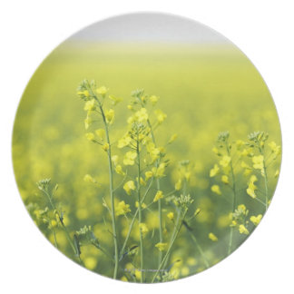Canola Flowering in Field. Plate