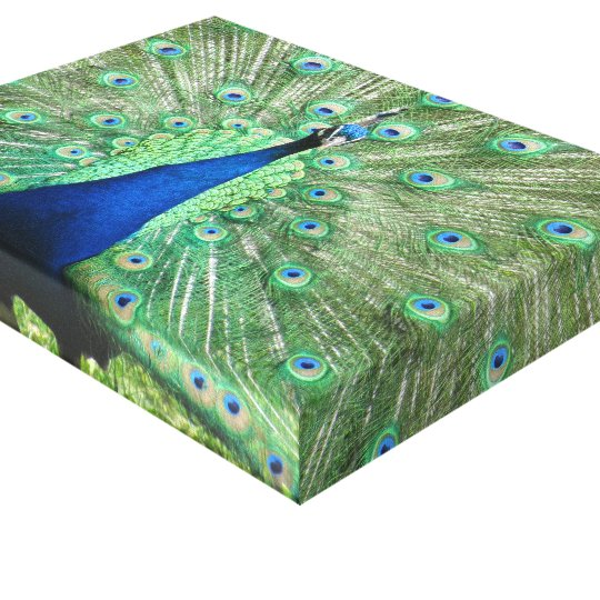 Canvas print - Peacock with fanned tail