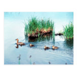 Canvasback duck post card