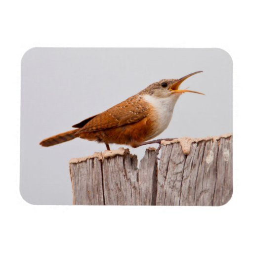 Canyon Wren (Catherpes Mexicanus) Singing Rectangle Magnet