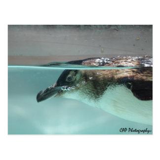 CAP Photography - Little Penguin Postcard