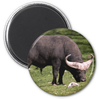 Cape Buffalo Eating 6 Cm Round Magnet