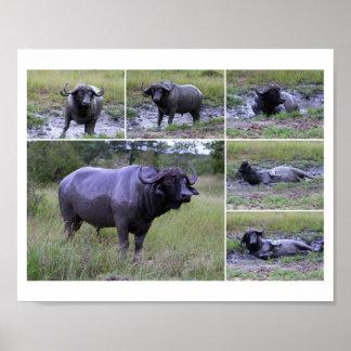 Cape Buffalo Mud Bath 10 by 8 Poster