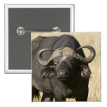 Cape Buffalo (Syncerus caffer), Masai Mara Pins