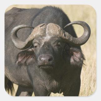 Cape Buffalo (Syncerus caffer), Masai Mara Square Sticker