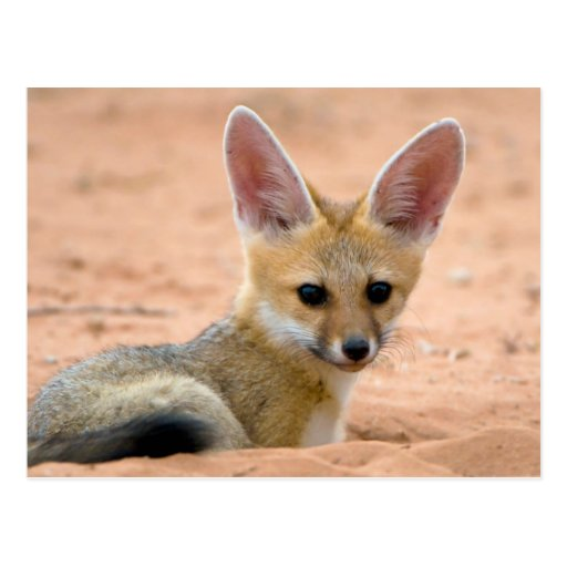 Cape Fox (Vulpes Chama) Pup Peers Inquisitively Post Cards