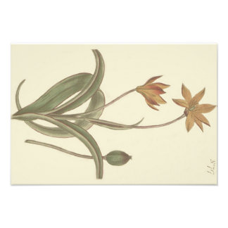 Cape Tulip Botanical Illustration Art Photo