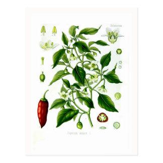 Capsicum annuum (cayenne pepper) postcard