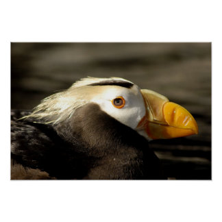 Captive Crested Puffin, Alaska Sealife Center, Poster