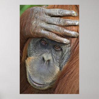 Captive female Sumatran Orangutan Poster