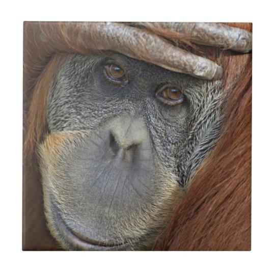 Captive female Sumatran Orangutan Small Square Tile