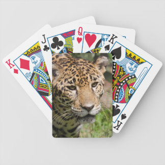 Captive jaguar in jungle enclosure 2 bicycle playing cards