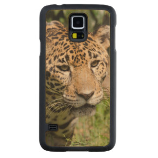 Captive jaguar in jungle enclosure 2 carved maple galaxy s5 case