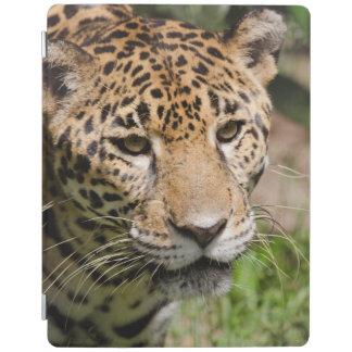 Captive jaguar in jungle enclosure 2 iPad cover