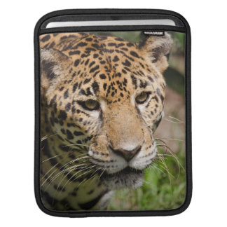 Captive jaguar in jungle enclosure 2 iPad sleeve
