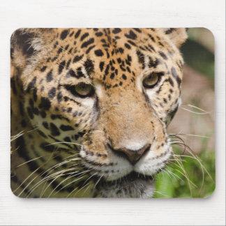 Captive jaguar in jungle enclosure 2 mouse mat