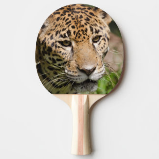 Captive jaguar in jungle enclosure 2 ping pong paddle
