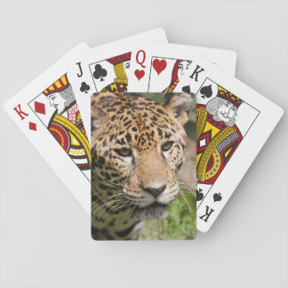 Captive jaguar in jungle enclosure 2 playing cards